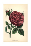 Marechal Forey Rose, Hybrid Giclee Print by Francois Grobon