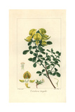 Rattlepod, Crotalaria Turgida, Native to Africa Giclee Print by Pancrace Bessa