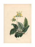 Common Cowslip, Primula Veris Giclee Print by M.A. Burnett