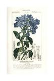 Blue Leadwort, Plumbago Cyanea Giclee Print by Pierre Turpin