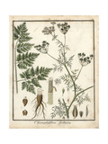 Turnip-Rooted Chervil, Chaerophyllum Bulbosum Giclee Print by F. Guimpel