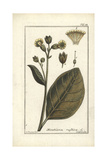 Mapacho Tobacco, Nicotiana Rustica Giclee Print by B. Thanner