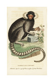 Common Marmoset, Callithrax Jacchus Giclee Print by George Edwards