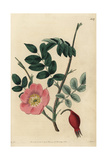 Rosa Stricta with Flower, Rosehip, Leaves and Thorny Branches Giclee Print by John Lindley