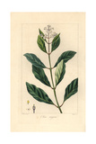 Black Ironwood or Olive Tree, Olea Capensis, Native to Africa Giclee Print by Pancrace Bessa