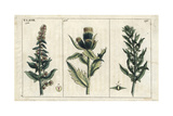 Spinach, Spinacia Oleracea, and Cabbage Thistle, Cirsium Oloraceus Giclée-Druck