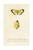 Clouded Sulphur Butterfly, Colias Philodice Giclee Print by George Edwards
