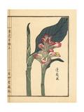 Gajutsu or White Turmeric or Zedoary, Curcuma Zedoaria Giclee Print by Bairei Kono