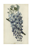 Chinese Wisteria, Wisteria Sinensis Giclee Print by William Clark