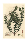 Pointed-Leaved Pernettia, Gaultheria Mucronata Giclee Print by Sarah Drake