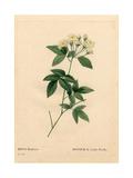 Lady Banks Rose, Rosa Banksiae Var Alba-Plena Giclee Print by Pierre-Joseph Redouté