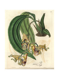 Spotted Coryanthes Orchid, Coryanthes Maculata Giclee Print by Sarah Drake