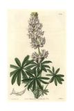 Dense-Flowered Lupin, Lupinus Densiflorus Giclee Print by Sarah Drake