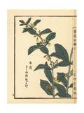 Suzumeno Okoge, Iyokazura, or Cynanchum Japonicum Giclee Print by Bairei Kono