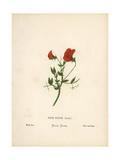Wild or Tawny Pea, Pisum Fulvum Giclee Print by Hannah Zeller