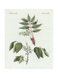 Poison Ivy, Toxicodendron Radicans, and Poison Sumac, Rhus Vernix Giclee Print