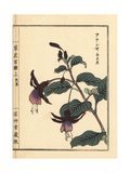 Fukusha, South American Fuchsia Species Giclee Print by Bairei Kono