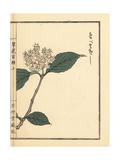 Linden Arrowwood, Viburnum Dilatatum Thunb Giclee Print by Bairei Kono