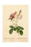 Proliferous Cels Rose, Rosa Damascena Var Incarnata-Maxima Giclee Print by Pierre-Joseph Redouté