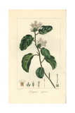 Mayflower or Trailing Arbutus, Epigaea Repens Giclee Print by Pancrace Bessa