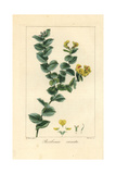 Aspalathus Crenata, Native to South Africa Giclée-Druck von Pancrace Bessa