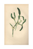 Mistletoe with Leaves and Berries, Viscum Alba Giclee Print by Rebecca Hey