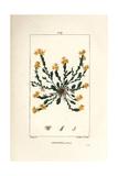 Golden Stonecrop, Sedum Acre Giclee Print by Pierre Turpin