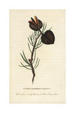 Naked Ligneous Walnut of New South Wales Giclee Print