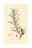 Dagger Hakea, Hakea Teretifolia Giclee Print by Pancrace Bessa