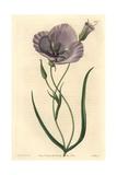 Splendid Mariposa Lily, Calochortus Splendens Giclee Print by Sarah Drake