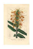 Narrowleaf Ginger, Hedychium Angustifolium Giclee Print by Pancrace Bessa
