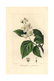 Hoary Mock Orange, Philadelphus Pubescens Giclee Print by Pancrace Bessa