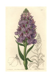 Leafy Orchid, Dactylorhiza Foliosa Giclee Print by Sarah Drake