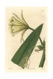 Sulphur-Coloured Ismene, Ismene Amancaes Var Sulphurea Giclee Print by Sarah Drake