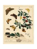 Oak Eggar, Brimstone, Clouded Yellow, China Mark Likeness Moths Giclee Print by Moses Harris