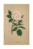 Boule De Neige, Snowball Rose, Hybrid Giclee Print by Francois Grobon