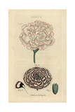 Picotee Carnation and Double Laced Pink Carnation Giclee Print