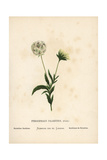 Palestine Scabious, Pterocephalus Palaestinus Giclee Print by Hannah Zeller