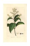 Japanese Privet, Ligustrum Japonicum Giclee Print by Pancrace Bessa