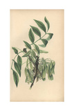 Ash Tree, Fraxinus Excelsior Giclee Print by Rebecca Hey