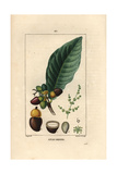 Cashew Apple and Nut, Anacardium Occidentale Giclee Print by Pierre Turpin