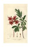 Pink Azalea, Rhododendron Nudiflorum Giclee Print by Pancrace Bessa
