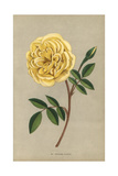 Madame Falcot Rose, Hybrid of the Tea Rose Giclee Print by Francois Grobon