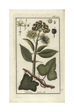 Common Ivy, Hedera Helix, Showing Leaves and Berries Giclee Print