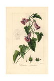 Creeping Snapdragon or Chickabiddy, Maurandya Scandens Giclee Print by Pancrace Bessa
