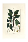 Beech Tree, Fagus Sylvatica Giclee Print by Pierre Turpin