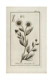 German Chamomile, Matricaria Chamomilla Giclee Print