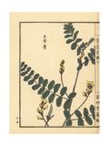 Kiougi or Peacock Flower, Caesalpinia Pulcherrima Giclee Print by Bairei Kono