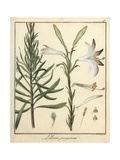 Madonna Lily, Lilium Candidum Giclee Print by F. Guimpel