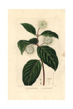 Buttonbush, Cephalanthus Occidentalis, Native to North America Giclee Print by Pancrace Bessa